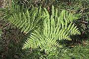 Bracken fronds, Pteridium plant, growing in woodland viewed from above, Suffolk, England