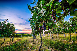 Fileiras de vinha em um parreiral de Encruzilhada do Sul. FOTO: Jefferson Bernardes/ AgÍncia Preview