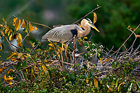 Great Blue Heron (Ardea herodius), on nest with two newly hatched chicks, Wakodahatchee Wetlands, Delray Beach, Florida, USA   Photo: Peter Llewellyn