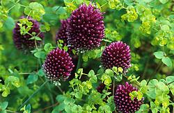 Allium sphaerocephalon growing through Euphorbia stricta