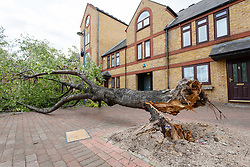 © Licensed to London News Pictures. 11/08/2019. LONDON, UK. An uprooted, fallen tree next to residential houses in Wapping, east London today. Windy weather is forecast for London and the UK throughout the weekend. Photo credit: Vickie Flores/LNP