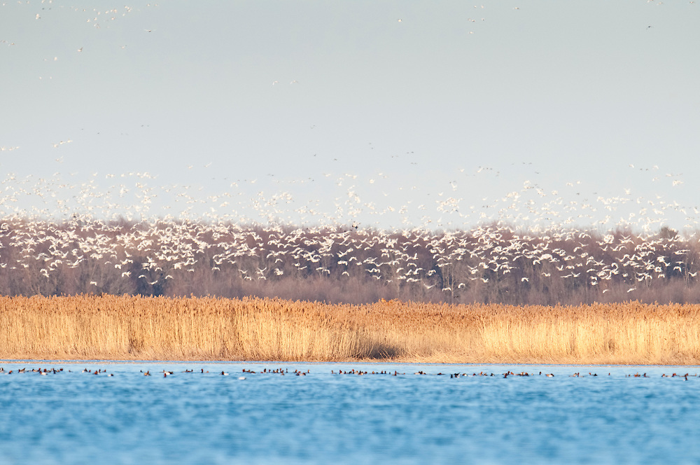 Tundra Swans, Cygnus columbianus, Redhead, Aythya americana, male, Saginaw Bay, Michigan