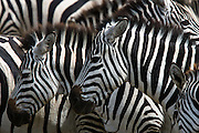 Zebras show off their black and white patterns of camouflage and confusion in numbers on a safari in Ngorongoro crater, Tanzania.