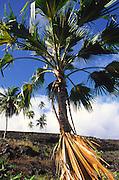 Palm, Pi'ilani Heiau, Hana Coast, Maui<br />