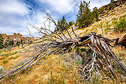 Decaying western juniper along the Homestead Trail next to the Crooked River in Smith Rock State Park, Oregon.