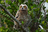 Great Horned Owl (Bubo virginianus), first day out of nest, Arthur R Marshall National Wildlife Reserve - Loxahatchee, Florida,