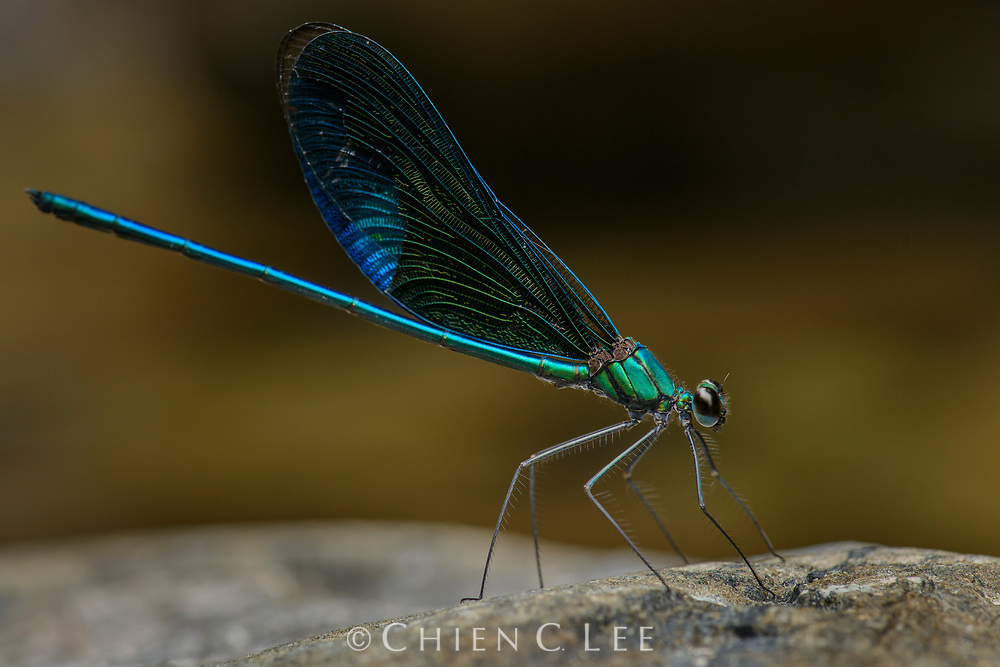 Neurobasis kaupi, an endemic damselfly of Sulawesi.