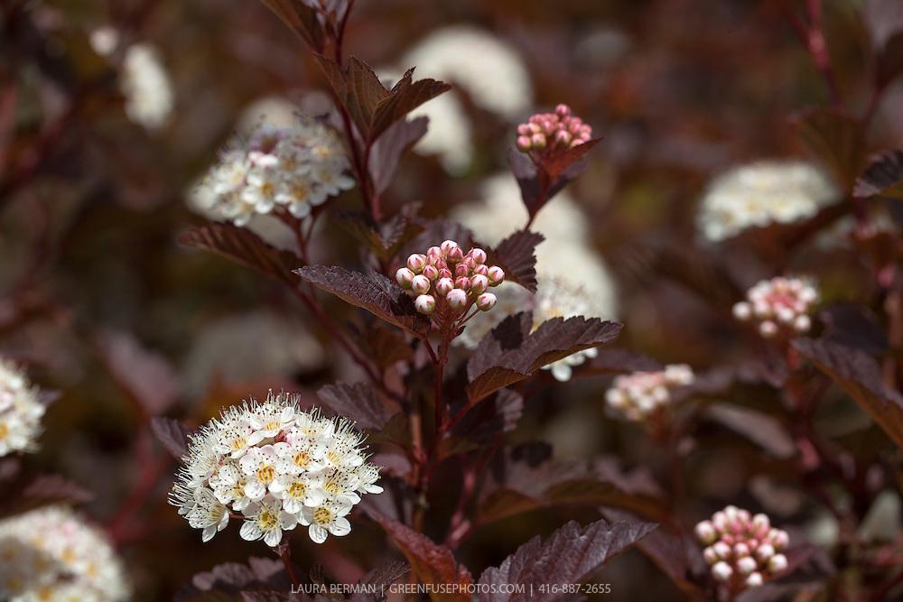 Summer Wine ninebark (Physocarpus opulifolius 'Seward').