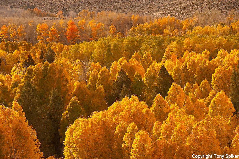 """Fall Aspens 2"" - Fall Aspens along Highway 395 at Conway Summit"