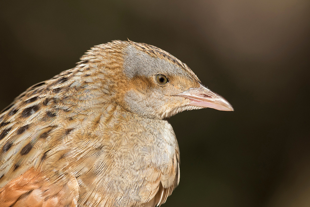 Injured Corncrake Crex crex injured on migration before being taken to medical centre, Israel