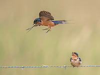 Barn Swallow, Hirundo rustica<br />