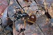 Giant Forest Ant; Camponotus gigas; Borneo, Malaysia, Sarawak, Sungai Sabi