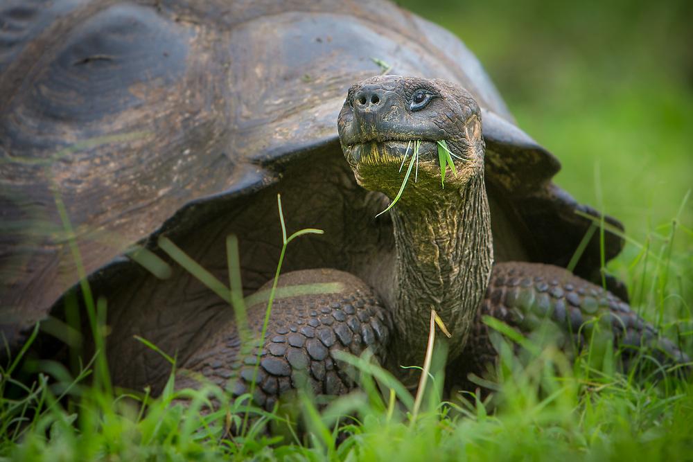 Galapagos Tortoise, Galapagos Islands