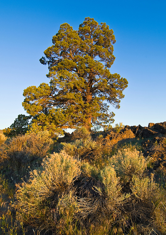 Rabbitbrush and western juniper tree on ancient lava flow; Oregon Badlands Wilderness, near Bend in central Oregon.
