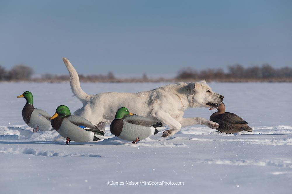 A yellow Laborador retriever runs through decoys to retrieve a duck during a winter waterfowl hunt in Idaho.