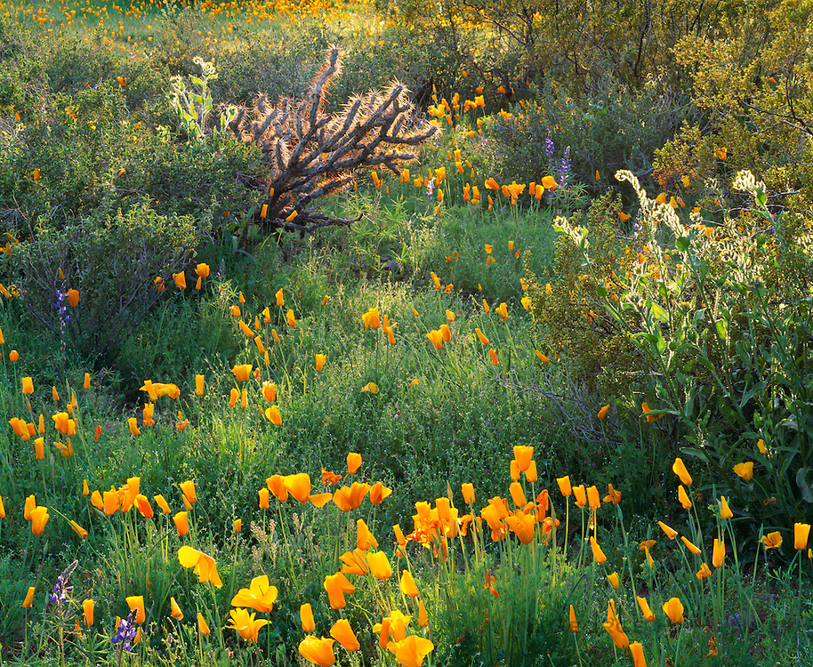 0173-1001 ~ Copyright: George H. H. Huey ~ Mexican gold poppies with cholla cactus, fiddleneck, and lupine at sunset. Sonoran Desert. Picacho Peak Stae Park, Arizona.