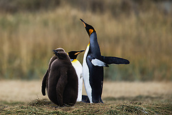 A female King penguin spreads her wings (Aptenodytes patagonicus) next to her chicks in a colony on Tierro del Fuego, Patagonia, Chile
