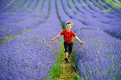 © Licensed to London News Pictures. 26/07/2013 Hitchin, UK. Six year old Tom Stocks runs through the fields of Lavendar at Hitchin Lavendar, Cadwell Farm, Hitchin, Hertfordshire. The Lavendar, now in full bloom, has been farmed at Cadwell for more than one hundred years and for five generation, farming over 12 acres of lavender or 17 miles of rows. In the past the small market town of Hitchin was one of only two major Lavender growing areas in the country.  At its height in the nineteenth century a hundred acres were grown around the town and it soon became renowned nationally. Each lavender field could continually produce abundant crops for five years before being uprooted and burned, providing a fragrant and captivating aroma that blew across the whole town.<br /> Photo credit : Simon Jacobs/LNP