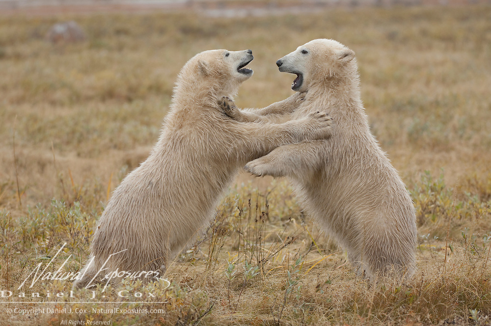 Polar Bear (Ursus maritimus) cubs playing, south of Churchill, Manitoba, Canada.