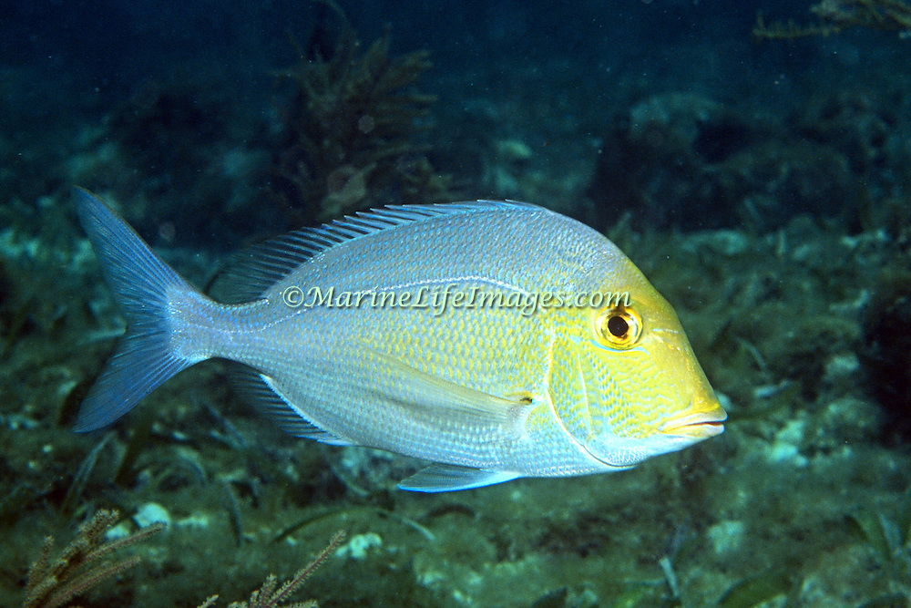 Saucereye Porgy hover above reefs and adjacent sand areas in Tropical West Atlantic; picture taken Nassau, Bahamas.