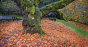 Oak tree at the tennis courts, Mount Tabor Park, Portland, Oregon, USA.