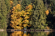 Two hikers view a Bigleaf Maple (Acer macrophyllum) and it's fall foliage along the east side of Sasamat Lake in Port Moody, British Columbia, Canada.  White Pine Beach (popular during the summer months) is just around the corner from here and along with Sasamat Lake is within Belcarra Regional Park.