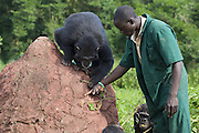 Chimpanzee<br /> Pan troglodytes<br /> Rodney Lemata (Caretaker) showing rescued chimpanzee(s) how to use tools (using twig to fish out honey in hole)<br /> Ngamba Island Chimpanzee, Sanctuary <br /> *Model release available - Release #MR_007