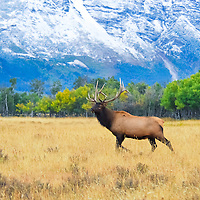 elk rocky mountain fall colors,