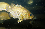 Rock Bass<br />