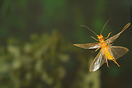 Stonefly (Perlesta sp.) flying with eggs<br /> ALABAMA: Tuscaloosa Co.<br /> Tulip Tree Springs off Echola Rd.; Elrod<br /> 30-May-2016<br /> J.C. Abbott #2823 &amp; K.K. Abbott