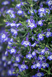 Lobelia 'Hot Tiger'