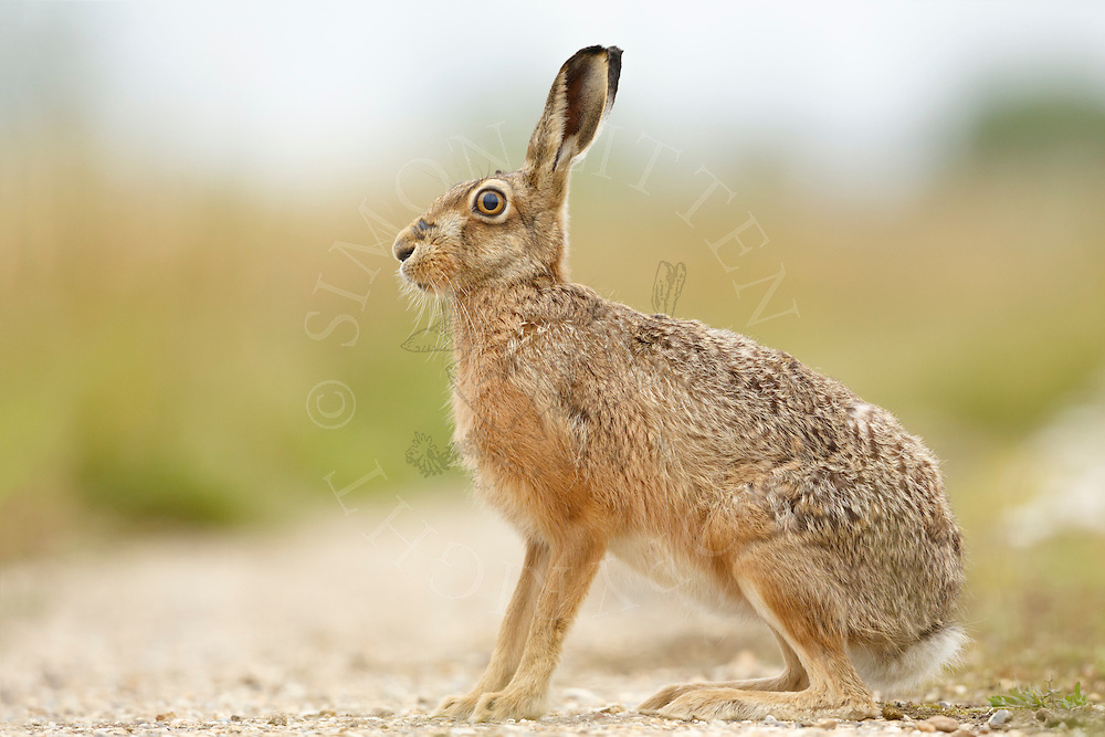 European Hare (Lepus europaeus) adult on farmland track, South Norfolk, UK. July.