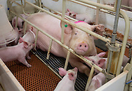 Young pigs with their mother in a farrowing building at Grandview Farms in Eldridge, Iowa on Thursday August 9, 2012.