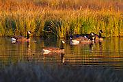 Five Canada geese (Branta canadensis) swim in a channel of water in the Edmonds Marsh, Edmonds, Washington.