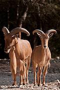 Barbary Sheep, (Ammotragus lervia)
