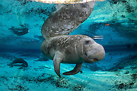 Florida manatee, Trichechus manatus latirostris, a subspecies of the West Indian manatee, endangered. Series of a female manatee relaxing from  a rightside up position to upside down swimming. A female begins to turn while swimming near a warm blue springhead. She is reflected on the calm surface. Other manatee rest by the springs. An Atlantic needlefish, Strongylura marina, swims nearby. Tranquil and undisturbed natural behavior. Horizontal orientation with blue water, reflections and sun rays. Three Sisters Springs, Crystal River National Wildlife Refuge, Kings Bay, Crystal River, Citrus County, Florida USA.