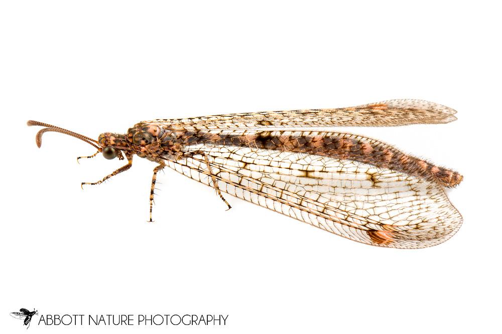 Ant Lion (Scotoleon sp) <br /> TEXAS: Jeff Davis Co.<br /> Chihuahuan Desert Nature Center<br /> 20-April-2014<br /> J.C. Abbott &amp; K.K. Abbott