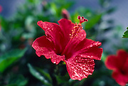 Red Hibiscus<br />