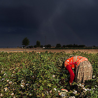 A woman cotton farmer working in a cotton field in Suruc, which is a birder town of Turkey with Syria.