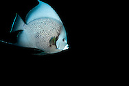 Gray on Black, Gray Angelfish, Pomacanthus arcuatus, (Linnaeus, 1758), Grand Cayman