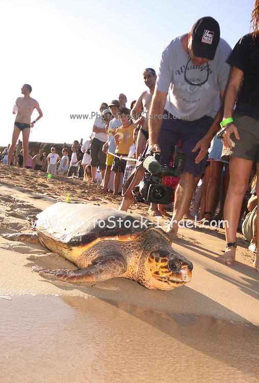 Israel, people watch as a loggerhead sea turtle (Caretta caretta) heads out to sea on being released back to nature after medical care