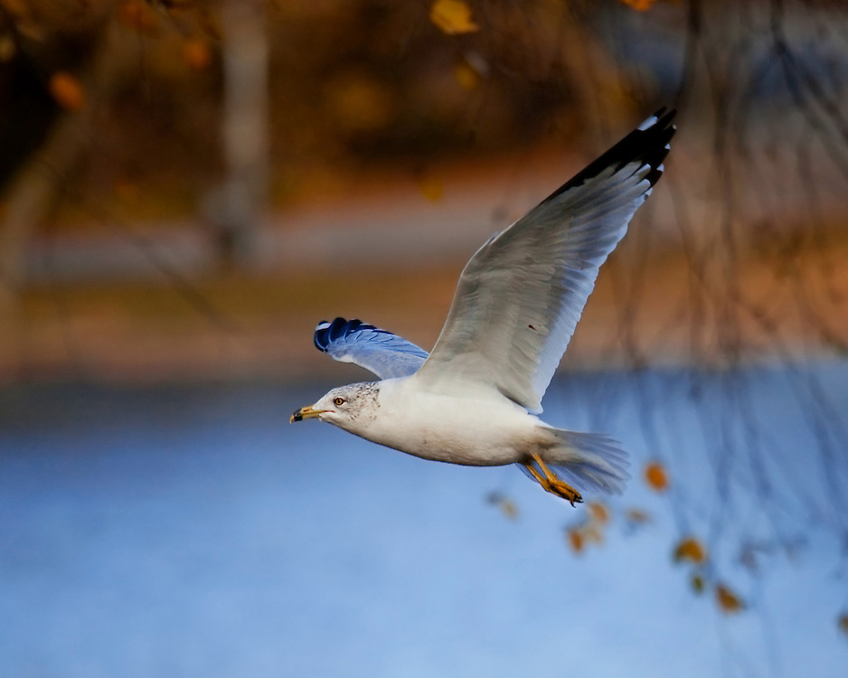 A ring billed gull over the lake. Late Fall.