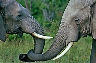 Elephant siblings greeting, Serengeti National Park, Tanzania.
