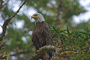 Bald eagle  (Haliaeetus leucocephalus) in tree. Graham Island. , Haida Gwaii (formerly the Queen Charlotte Islands), British Columbia, Canada