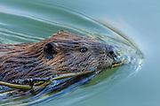 Beaver (Castor canadensis) - Oxbow Bend, Grand Teton National Park, WY