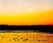 "Multiple flocks of migrating Canada Geese (Branta canadensis) are silhouetted against the evening sky as the sun sets over Blackwater National Wildlife Refuge on the Eastern shore of Maryland, Halloween night, October 31, 1990.  Blackwater National Wildlife Refuge, encompassing over 27,000 acres of wetlands, is a major stop on the Atlantic Flyway for many types of waterfowl and other birds.  The refuge, established in 1933 as a waterfowl sanctuary, has been designated of ""International Importance"" by the Ramsar Convention as it supports over 250 bird species, 35 species of reptiles and amphibians, 165 species of threatened and endangered plants, and numerous mammals.  During winter migration, Blackwater Refuge is home to approximately 35,000 geese and 15,000 ducks. Fed by the Blackwater River and the Little Blackwater River, it consists of numerous freshwater impoundments, brackish tidal wetlands, open fields, and mixed evergreen and deciduous forests. The Blackwater name refers to the tea-colored waters darkened by tannins leached from the marsh peat soil through which they drain."