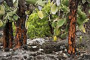 Opuntia Cactus (Opuntia echios var.)<br /> Puerto Ayora, Santa Cruz Island<br /> Galapagos<br /> Ecuador, South America<br /> ENDEMIC