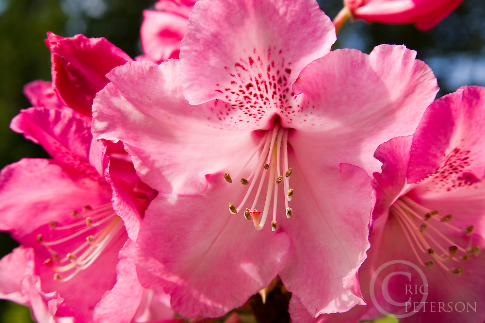 Pink Rhodendron blossoms close up
