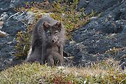 Arctic fox in Iceland