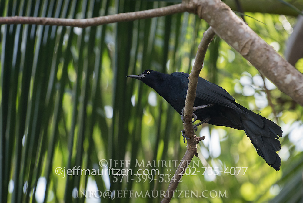 A male adult Great-tail Grackle perches on a branch on Coiba Island, Panama.